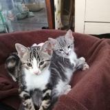 Scott et sisko, Chaton européen à adopter