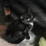 Savana, chatonne blanche et noire, née le 15/08/21, Chaton à adopter
