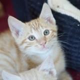 Spirou, chaton européen roux, né le 15 août 2021, Chaton à adopter