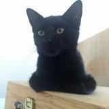 Saturne, femelle noire, née le 20/04/2021, Chaton à adopter