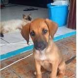 Mily le petit ange créole, Chiot à adopter