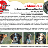 Maurice, Chiot border collie à adopter