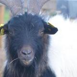 Sabri (70106), Animal bouc à adopter