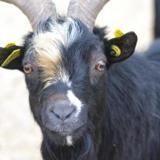 Tiguan (90022), Animal bouc à adopter