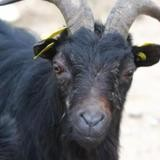 Barnabe (90021), Animal bouc à adopter