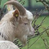 Tangor, Animal bouc à adopter