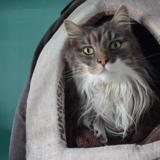 Bonzai, Chat angora à adopter