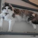 Isa (réservée), Chat angora à adopter