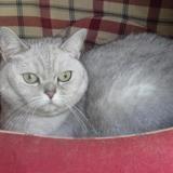 Isaquita, Chat british longhair à adopter