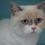 Evie, Chat british longhair  (persan) à adopter
