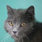 Astra, Chat chartreux à adopter