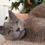 Azur cha10769, Chat chartreux à adopter