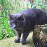 Capuchon, Chat chartreux à adopter