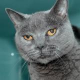 Maja, Chat chartreux à adopter