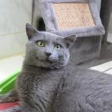 Chamallow [fiv +], Chaton croisé / autre (chartreux) à adopter