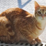 Mutty, Chat croisé / autre (europeen) à adopter