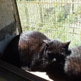 Dumbo, Chat croisé / autre (europeen) à adopter
