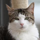Krema, Chat croisé / autre (europeen) à adopter