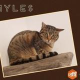 Myles, Chat croisé / autre (europeen) à adopter