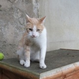 Franklin, Chat croisé / autre (europeen) à adopter