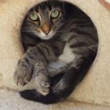 Jezabel, Chat croisé / autre (europeen) à adopter
