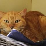 Wiskette pab17018, Chat croisé / autre (europeen) à adopter