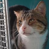 Hippolyte, Chat croisé / autre (europeen) à adopter