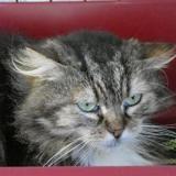 Filou, Chat croisé / autre (europeen) à adopter