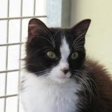 Tchin, Chat croisé / autre (europeen) à adopter