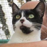 Daya, Chat croisé / autre (europeen) à adopter