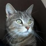 Gully, Chat croisé / autre (europeen) à adopter