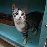 Mowgli, Chaton croisé / autre (europeen) à adopter