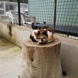 Fleur, Chat croisé / autre (europeen) à adopter