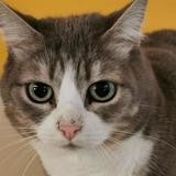 Kiwi (lolly), Chat croisé / autre (européen) à adopter