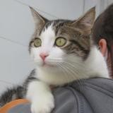 Laky, Chat croisé / autre (européen) à adopter