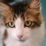 Chanel, Chat croisé / autre (norvegien) à adopter
