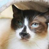Luciole, Chat croisé / autre (sacre de birmanie) à adopter