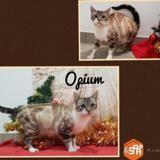 Opium, Chat croisé / autre (siamois) à adopter