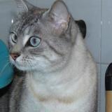 Mimine, Chat croisé / autre (siamois) à adopter