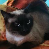 Perle, Chat croisé / autre (siamois) à adopter