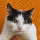 Kyûbi, Chat croisé / autre (siamois) à adopter