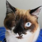 Lizzy, Chaton croisé / autre (siamois) à adopter