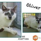 Oliver, Chat croisé / autre (siamois) à adopter