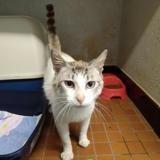 Ziggy, Chat croisé / autre (siamois) à adopter