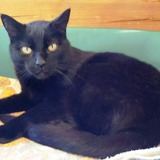 Wasabi, Chat europeen à adopter