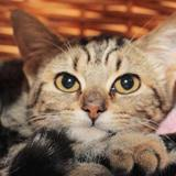 Fitnesse a12209, Chaton europeen à adopter