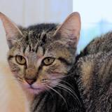 Tabby a12183, Chaton europeen à adopter