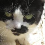 Myosotis, Chat europeen à adopter