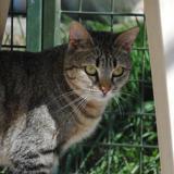 Cahuet', Chat europeen à adopter