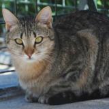 Fushia, Chat europeen à adopter